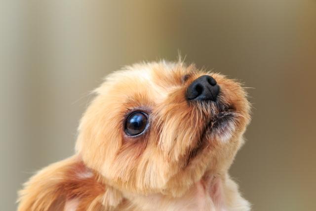 犬の超小型って?種類を一挙大公開!可愛いすぎて目が離せない!